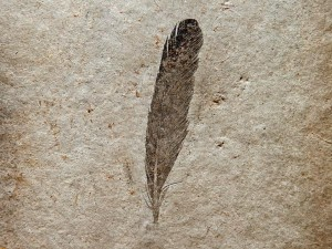A fossilized Archaeopteryx feather (pictured) is black, a new study says