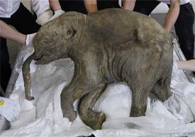 mammoth fossil, world ...