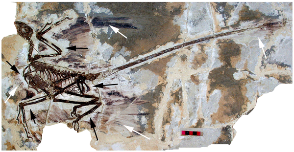 Figure 1. The holotype of Microraptor gui, IVPP V 13352 under normal light. show more  This shows the preserved feathers (white arrow) and the 'halo' around the specimen where they appear to be absent (black arrows). Scale bar at 5 cm.  doi:10.1371/journal.pone.0009223.g001