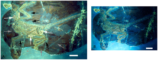 Figure 2. The holotype of Microraptor gui, IVPP V 13352 under UV light. show more  Different filters were employed for parts A and B, hence the difference in colour and appearance. A also is labeled to indicate the preserved feathers (grey arrows) and the 'halo' around the specimen where they appear to be absent (black arrows) as well as phosphatised tissues (white arrows). Scale bars are 5 cm in both A and B.  doi:10.1371/journal.pone.0009223.g002