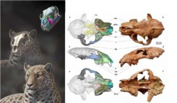 At left is: Life reconstruction of Panthera blytheae based on skull CT data; illustrated by Mauricio Antón. At Right are images of the holotype specimen and reconstructed facial bones based on CT data; Figure 1 from the paper. (Credit: Mauricio Antón (left) and Figure 1 from the paper (right).)