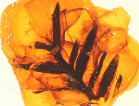 The team analyzed amber samples from almost all well-known amber deposits worldwide. This amber originates from the Cretaceous period, an inclusion of foliage of the extinct conifer tree Parataxodium sp. from the Foremost Formation at Grassy Lake, Alberta, Canada. It is approximately 77 million years old. (Credit: Ryan C. McKellar)